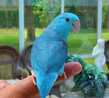 Order Single Female Blue Parrotlet hand fed σε Ancient Olympia