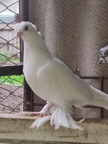 Животные - Кыргызстан: Пискун белый скорее всего самочка прошу 800 торг приветствую
