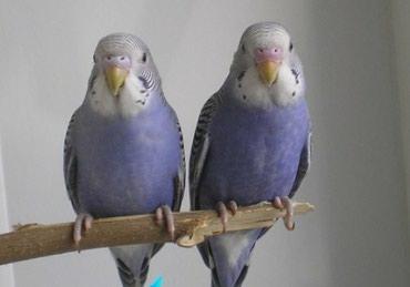 волнистые попугаи размножение в Кыргызстан: Красивые необычного окраса волнистые попугаи