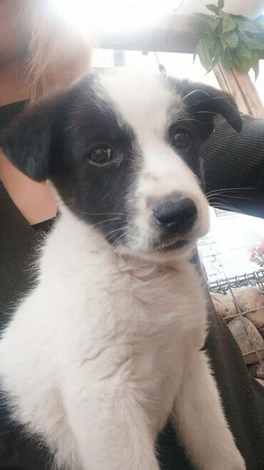 Ищем дом для щенка, девочка красавица, возраст 2,5 мес, вырастет
