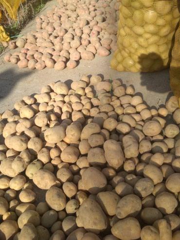 Семенной 45-дневный картофель, от семян в Бишкек