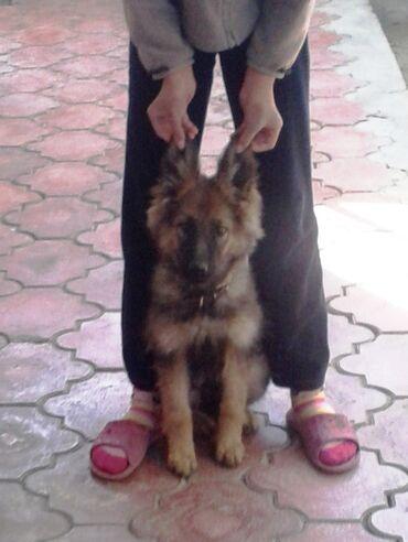 Щенок немецкой овчарки. Возраст 4 месяца. Сука. Проглистована и
