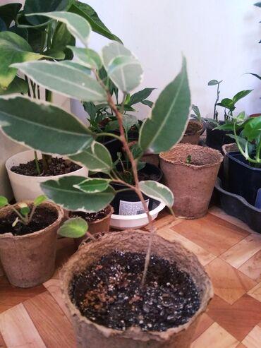 Комнатные растения в Кок-Ой: Алое вера и другие от 100 сом