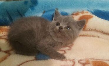 котенок в Кыргызстан: Продаётся котенок скотиш страйт, с документами, девочка, д.р 22.11.20