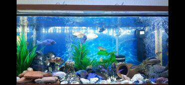 pirani baliqlari - Azərbaycan: Akvarium baliqlari ile birlikde satilir.30 dan cox iri olcude muxtelif