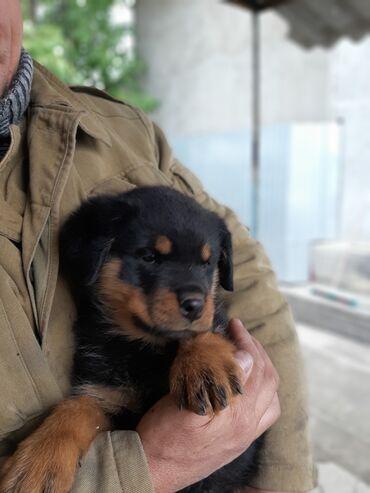 73 объявлений   ЖИВОТНЫЕ: Продаю чистокровного щенка ротвейлера, девочка,др13.08