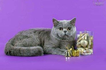 ВЯЗКА!!! Чемпион wcf и МФА. Привозной кот из Украины шотландский скотт в Бишкек