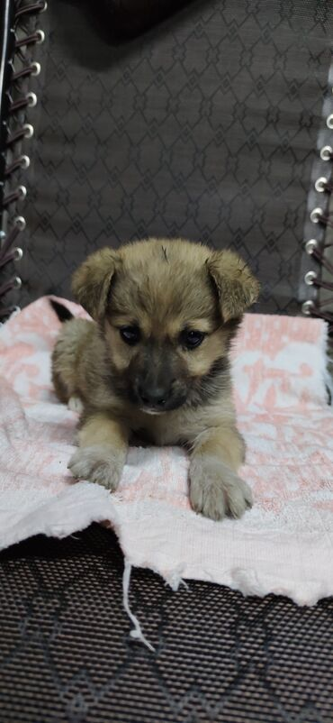 собаки сколько стоит в Кыргызстан: Щенок(дворняга) в добрые руки.хорошая охранница. 2 месяца, девочка. П