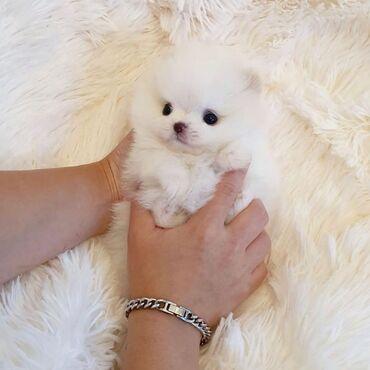 Για σκύλους - Καματερó: Έχουμε πολύ όμορφα και γλυκά κουτάβια Pomeranian για την επαναφορά