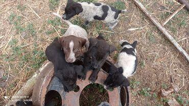Продаю щенков смесь дратхаара и курцхаара щенкам гдето 2 месяца