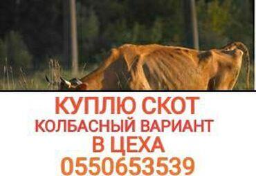 Животные - Кыргызстан: КУПЛЮ В КОЛБАСНЫЙ ЦЕХ  КОРОВ ТЕЛОК ЛОШАДЕЙ В ЛЮБОМ ВИДЕ В ЛЮБОЕ ВРЕМЯ
