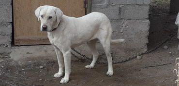 Продаю собаку, порода в Бишкек