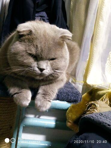 кастрация кота бишкек цена в Кыргызстан: Кот на вязку.шикарный котик,скоттиш фолд,лилового окраса.имеет полный