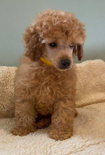 Πωλούνται κουτάβια Toy Poodleέχουμε αρσενικά και θηλυκά κουτάβια Toy