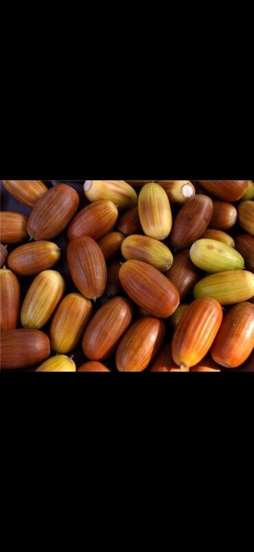 купить subaru outback в Ак-Джол: Куплю жёлуди по 5+сом в не огрониченном количестве