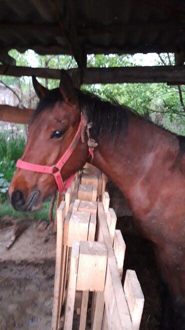 С/х животные - Кыргызстан: Продаю | Кобыла (самка) | Полукровка | Конный спорт