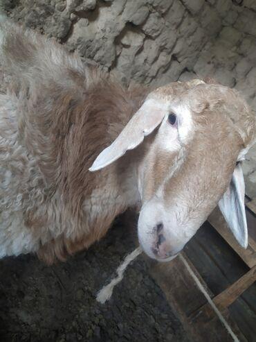 Животные - Михайловка: Кочкор 1,5 год, на откорме стояли жирные, хороших кровей