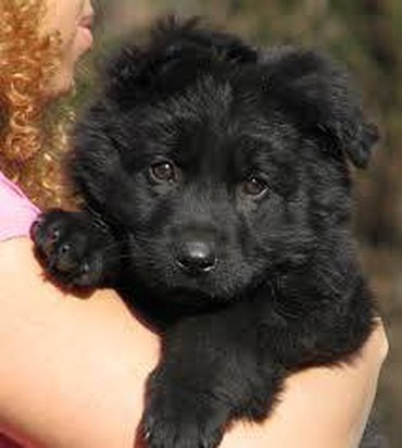 Buy Original double code black puppy German shephard male  σε Arnaia