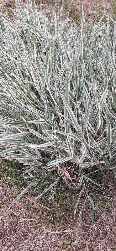 Ostali proizvodi za baštu - Srbija: Ukrasna trava