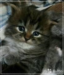 Продаются шотландские котята in Bakı