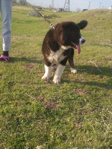 Животные - Шопоков: Продаю щенка подростка девочку САО,бойцового направления,готовая