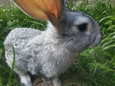Другие животные - Кыргызстан: Продаются кролики.5крольчат . Очень милые.Возраст 4-5месяцев