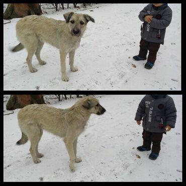 девушка по вызову в бишкеке в Кыргызстан: Пристраевается добрым людям в свой дом большая собачка, очень крупная