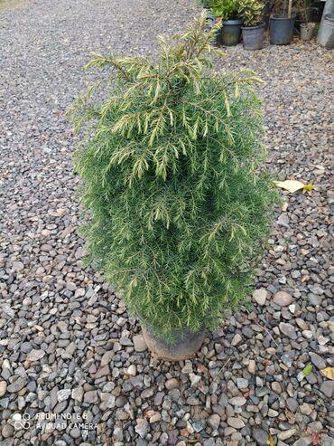 Juniperus ağaci