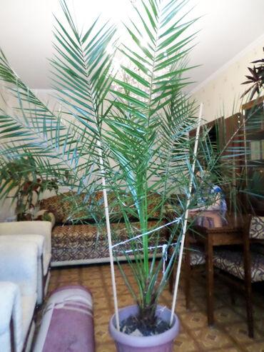 Пальма финиковая. Высота 2 метра. Виталий