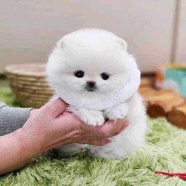 Φοβερά κουτάβια Pomeranian όλα έτοιμα για επανεκκίνησηΕλάτε φοβερά