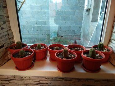 Кактус - Кыргызстан: Продаю кактус