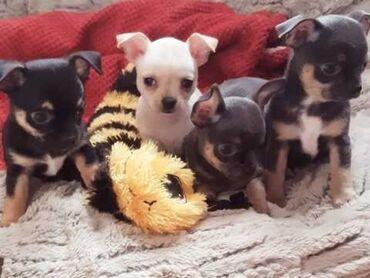 Kc Reg Long Coat Chihuahua Boy and Girl Show Line CHI HEARTS 1 αγόρι δ