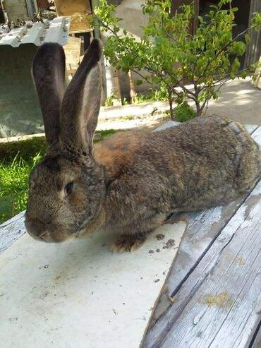 хундай портер цена бишкек в Кыргызстан: Продаю кролика самку порода фландер возраст 1.5 года