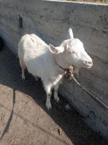 Продаю | Коза (самка), Козлёнок