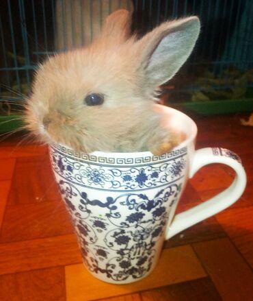 Кролики декоративные карликовые для дома. Домашний кролик мини. Цены