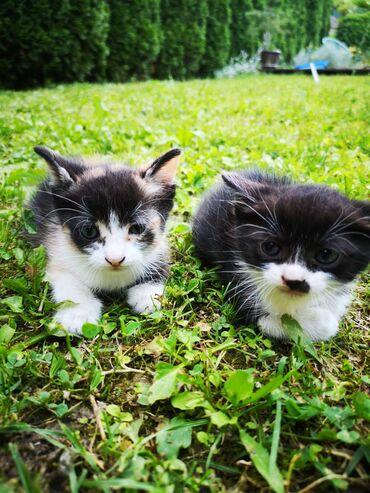 Mačke | Srbija: Dve mace na poklon