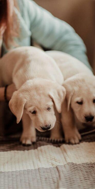 Продаются щенки Лабрадора с родословной все прививки клеймо