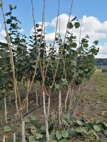 Kuća i bašta - Odzaci: Sadnice kalemljenog lesnika,oraha i sve vrste vocnih sadnica