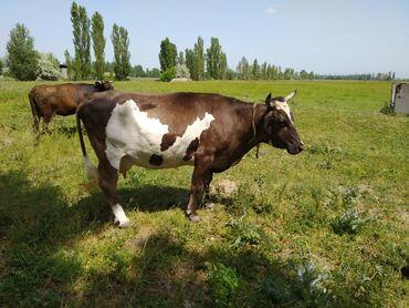 Животные - Дмитриевка: Продаю высоко дойную стельную корову Порода Голштин-Алатауская смесь