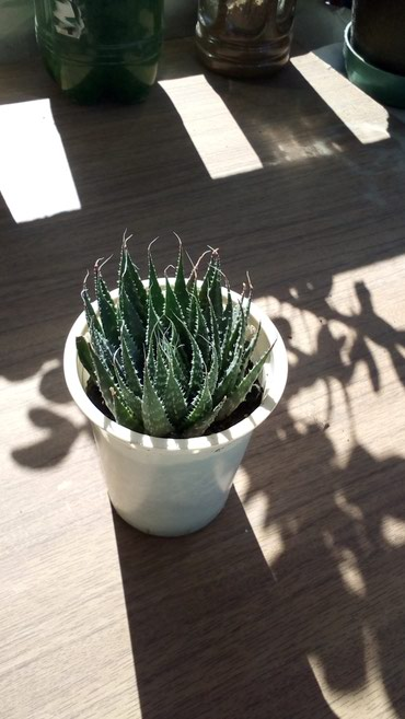 Kaktus - Azərbaycan: Haworthia succulent gulu cemi 3 azn!!!