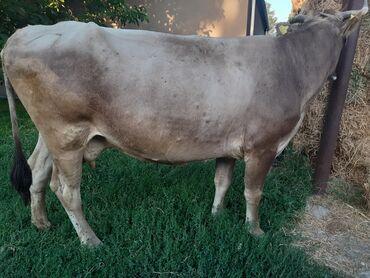 Продаю молодую породистую глубоко стельную 8 месяцев корову бурый