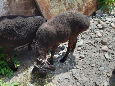 Животные - Каинды: Бараны, овцы