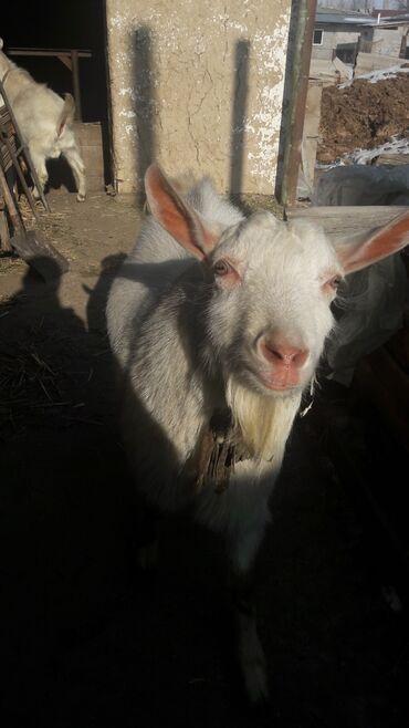 животн в Кыргызстан: ЗаанинскийКозёл молочной породы от пяти литровой козы