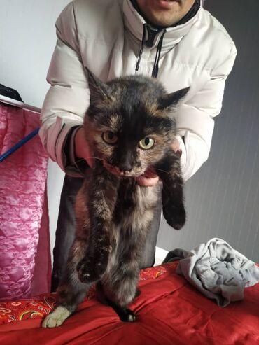 ищу кошку в Кыргызстан: Кошка полтора года все прививки сделаны отдадим в добрые руки Связи с