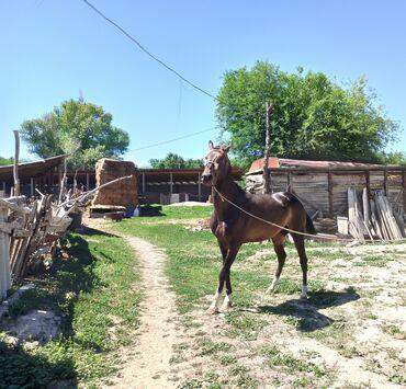 Продаю   Конь (самец)   Для разведения, Конный спорт   Племенные, Осеменитель