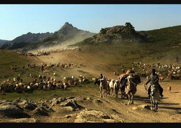 Работа - Пригородное: Требуется чабан или семья в KZ Алматинская область ! Дорожные расходы
