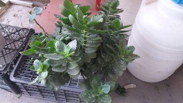 джал квартиры в аренду in Кыргызстан   АРЕНДА ИНСТРУМЕНТОВ: Другие комнатные растения
