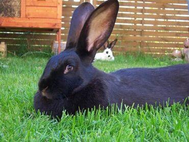 Крольчиха 1 год. Чисто черная. Около 5 кг. Приносит по 6-8 кролят