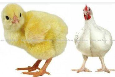botilony na kabluke в Кыргызстан: Продаем броллерных цыплят, вакцинированных от чумки и бронхи кобб