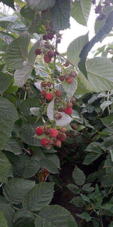 Семена и уличные растения - Кара-Балта: Продаются саженци голландской малины сорт Геракл высокая урожайность